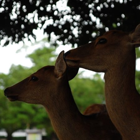 神の使いと言われる、奈良公園の鹿