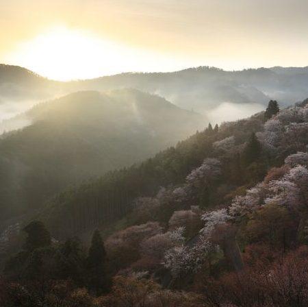 奈良の山奥で発見、春になると桜色に染まる山